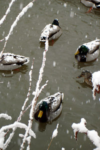 The ducks are just chilling out in the snow - Washington, DC ... February 24, 2007 ... Photo by Rob Page III
