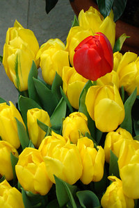 A sinlge red tulip rises from the gold ones - Washington, DC ... February 24, 2007 ... Photo by Rob Page III