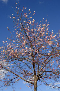 Cherry Blossoms in January - Washington, DC ... January 6, 2007 ... Photo by Rob Page III