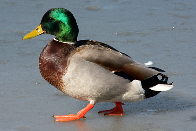 A mallard duck on the ice - Washington, DC ... February 1, 2009 ... Photo by Rob page III