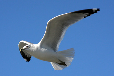 A sea gull - Washington, DC ... February 1, 2009 ... Photo by Rob page III