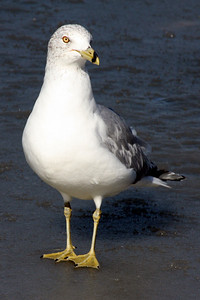 A sea gull out on the ice - Washington, DC ... February 1, 2009 ... Photo by Rob page III