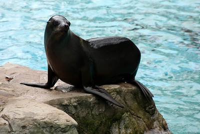 A sea lion at the National Zoo - Washington, DC ... January 18, 2009 ... Photo by Rob Page III