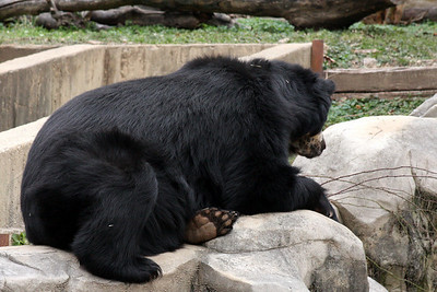 A bear at the National Zoo - Washington, DC ... January 18, 2009 ... Photo by Rob Page III