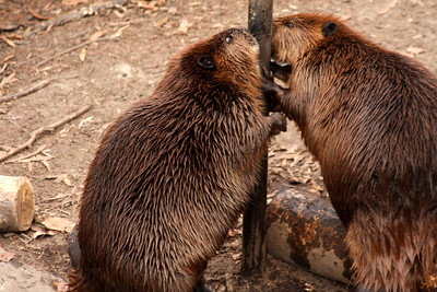 Beavers at the National Zoo - Washington, DC ... January 18, 2009 ... Photo by Rob Page III