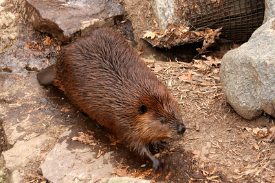 A beaver at the National Zoo - Washington, DC ... January 18, 2009 ... Photo by Rob Page III