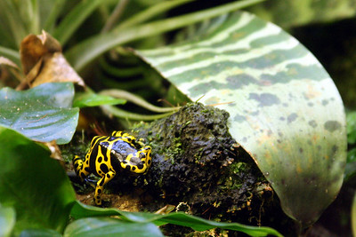 A poison dart frog at the National Zoo - Washington, DC ... January 18, 2009 ... Photo by Rob Page III