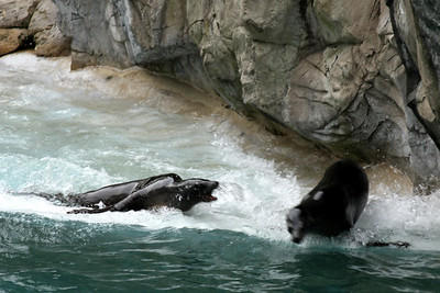 The sea lions 'playing' at the National Zoo - Washington, DC ... January 18, 2009 ... Photo by Rob Page III