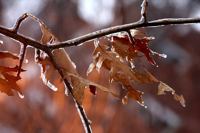 Leaves that didn't make it to the forest floor in Autumn - Washington, DC ... January 28, 2009 ... Photo by Rob Page III