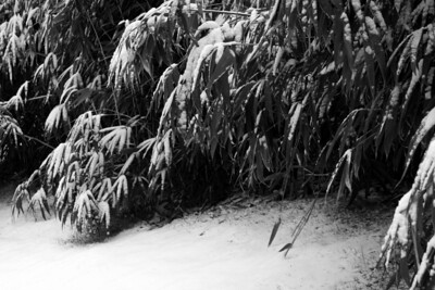 The bamboo bends under the weight of the snow and ice - Washington, DC ... January 27, 2009 ... Photo by Rob Page III