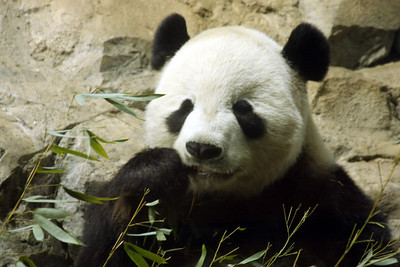 A giant panda at the National Zoo - Washington, DC ... January 28, 2009 ... Photo by Rob Page III