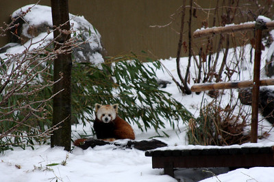 A red panda out in the snow - Washington, DC ... January 28, 2009 ... Photo by Rob Page III