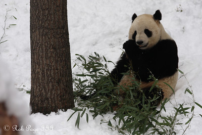 Tai Shan enjoys bamboo on his final day at the National Zoo - Washington, DC ... February 3, 2010 ... Photo by Rob Page III