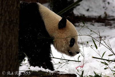 Tai Shan meanders around in the snow - Washington, DC ... February 3, 2010 ... Photo by Rob Page III