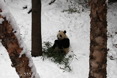 Tai Shan enjoys bamboo on his last full day at the National Zoo - Washington, DC ... February 3, 2010 ... Photo by Rob Page III