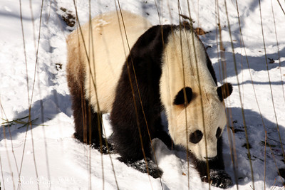 Tai Shan at the National Zoo - Washington, DC ... January 31, 2010 ... Photo by Rob Page III