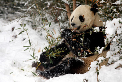 Tai Shan enjoys some bamboo - Washington, DC ... February 3, 2010 ... Photo by Rob Page III