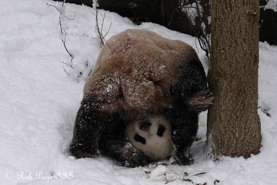 Tian Tian plays in the snow - Washington, DC ... February 3, 2010 ... Photo by Rob Page III