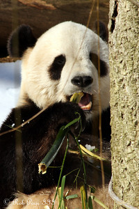 Tai Shan snacking on some bamboo - Washington, DC ... January 31, 2010 ... Photo by Rob Page III