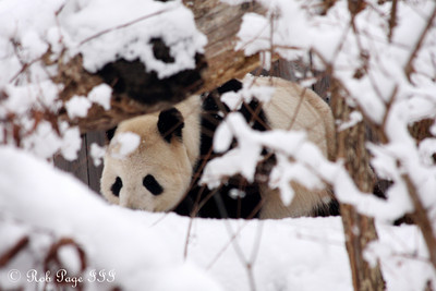 Tian Tian enjoys the snow - Washington, DC ... February 3, 2010 ... Photo by Rob Page III