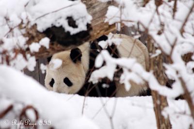 Tian Tian enjoys the snow - Washington, DC ... February 3, 2010 ... Photo by Rob Page III