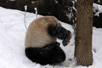 Tian Tian rolls around in the snow - Washington, DC ... February 3, 2010 ... Photo by Rob Page III