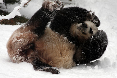 Tian Tian enjoys the snow by rolling down the hill - Washington, DC ... February 3, 2010 ... Photo by Rob Page III
