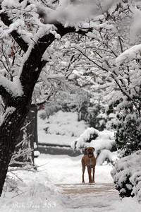 A dog enjoys the wintery day - Washington, DC ... February 3, 2010 ... Photo by Rob Page III