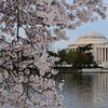 Cherry Blossoms  Washington DC Picture