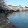 Cherry Blossom Trees in bloom along Tidal Basin