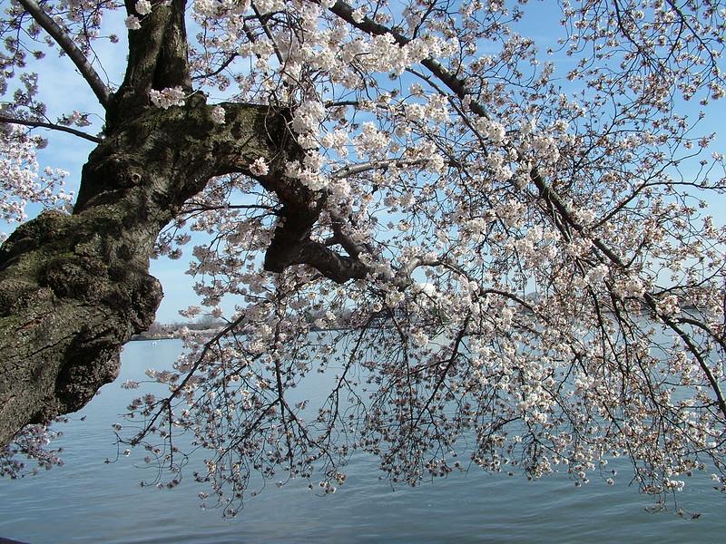 Cherry Blossoms ~ Washington DC