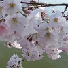 Cherry Blossoms close up