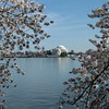 Cherry Blossom ~ Jefferson Memorial ~ Washington DC
