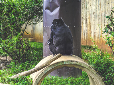 National Zoo Gorillas