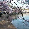 Cherry Blossoms along Tidal Basin ~ Washington DC