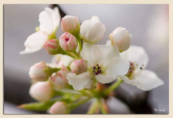 Bradford Pear blossom in our yard.