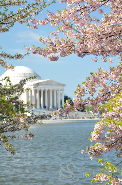 Cherry Blossoms  Washington DC Photo