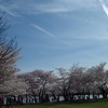 Cherry Blossom Trees along the Potomac ~ Washington, DC