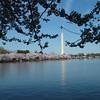 Cherry Blossoms along Tidal Basin ~ Washington Monument