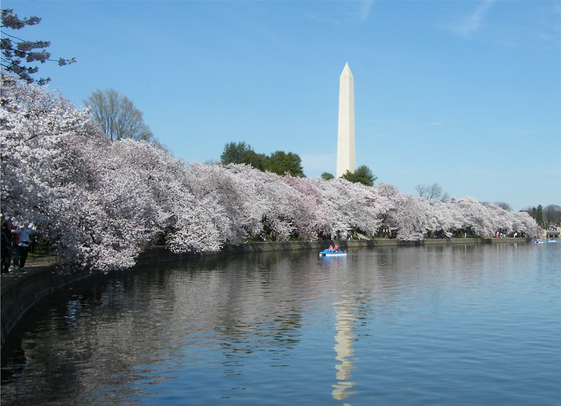 Washington Monument and Cherry Blossoms ~ Washington DC