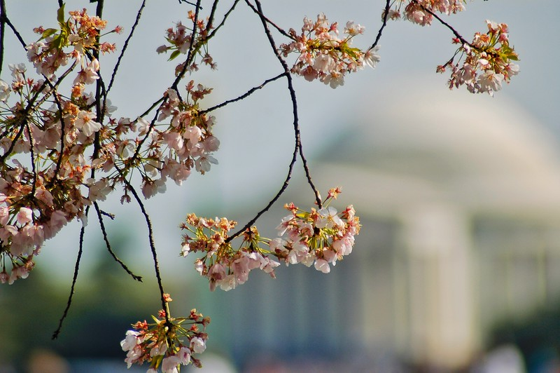 Cherry Blossoms in bloom with Jefferson Memorial Behind. 2010.