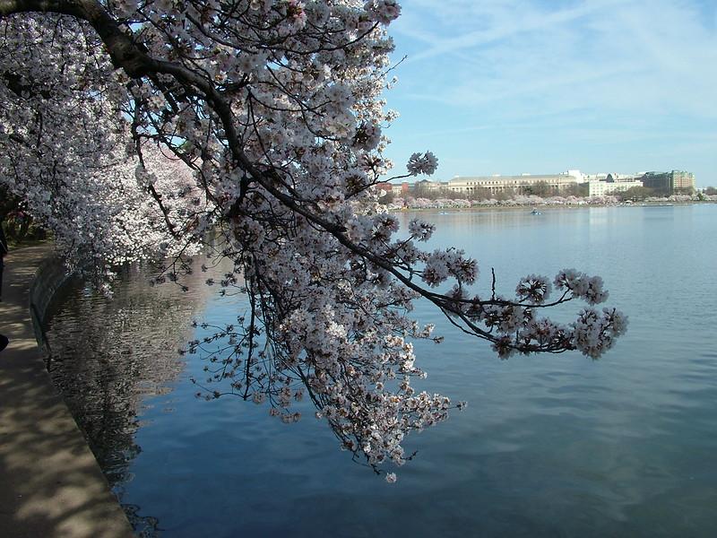 Cherry Blossom ~ Tidal Basin ~ Washington DC