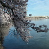 Cherry Blossom ~ Tidal Basin ~ Washington DC