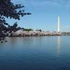 Cherry Blossoms ~ Washington Monument