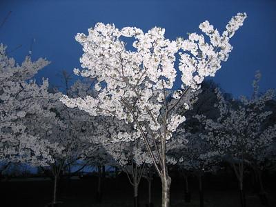 Cherry Blossoms near the Jefferson Memorial