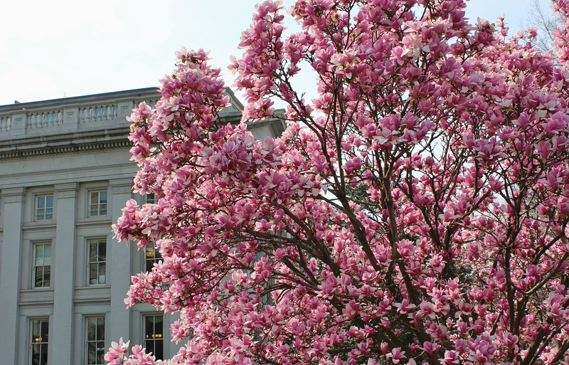 Magnolias at the Capitol