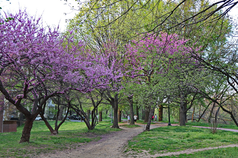 Redbud Trees in Spring
