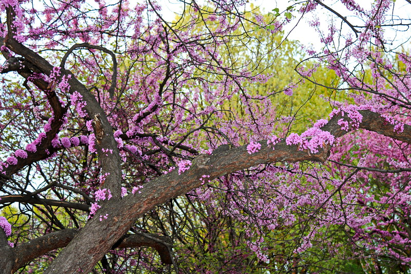 Redbud Blossoms in Spring