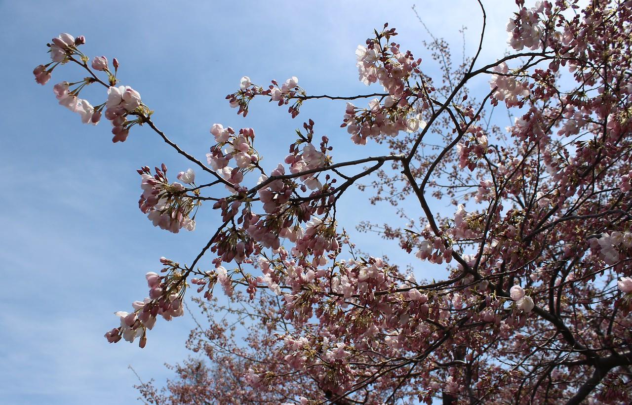 Cherry Blossoms, 2013