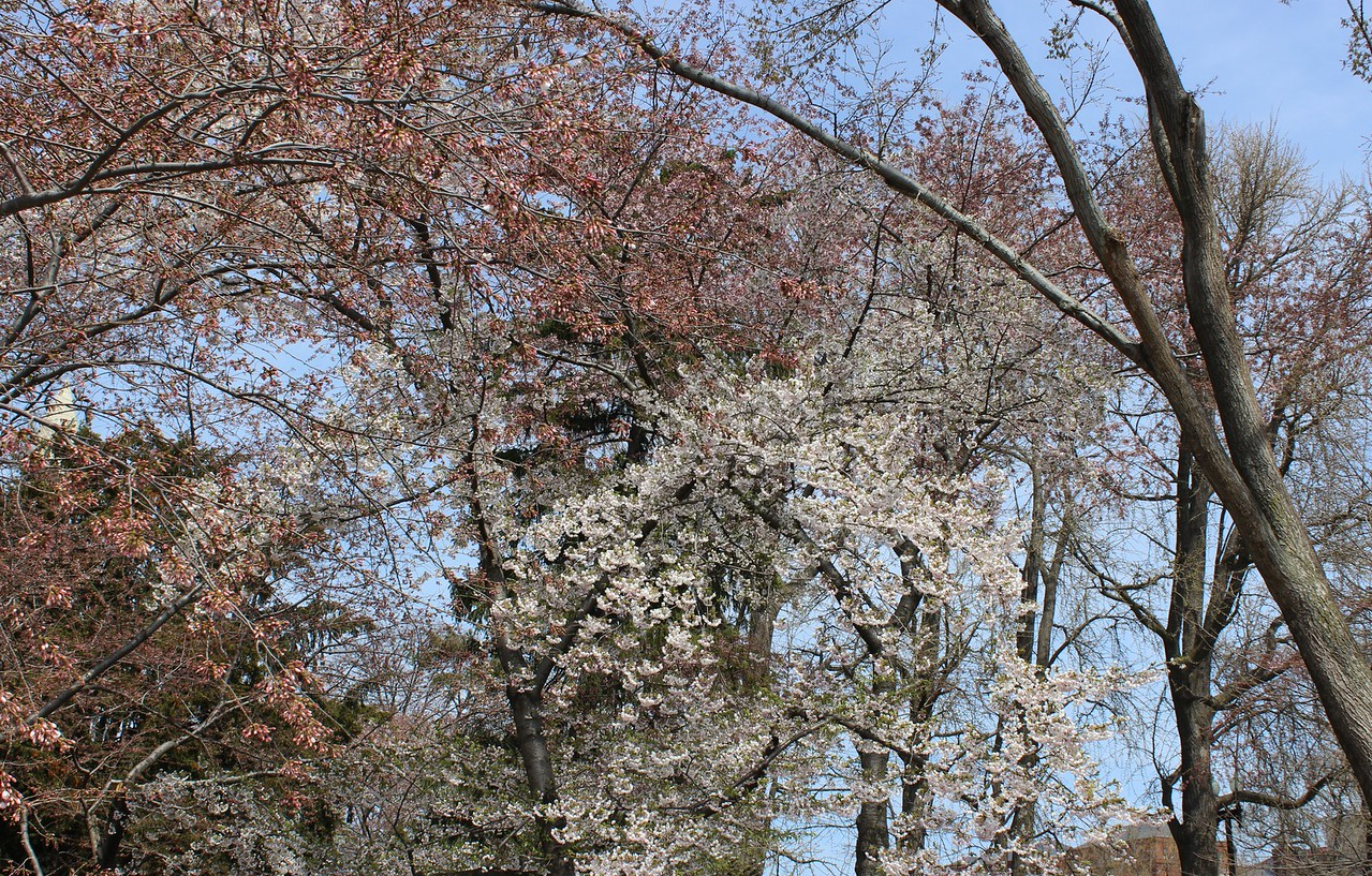 Cherry Trees Budding and Blooming